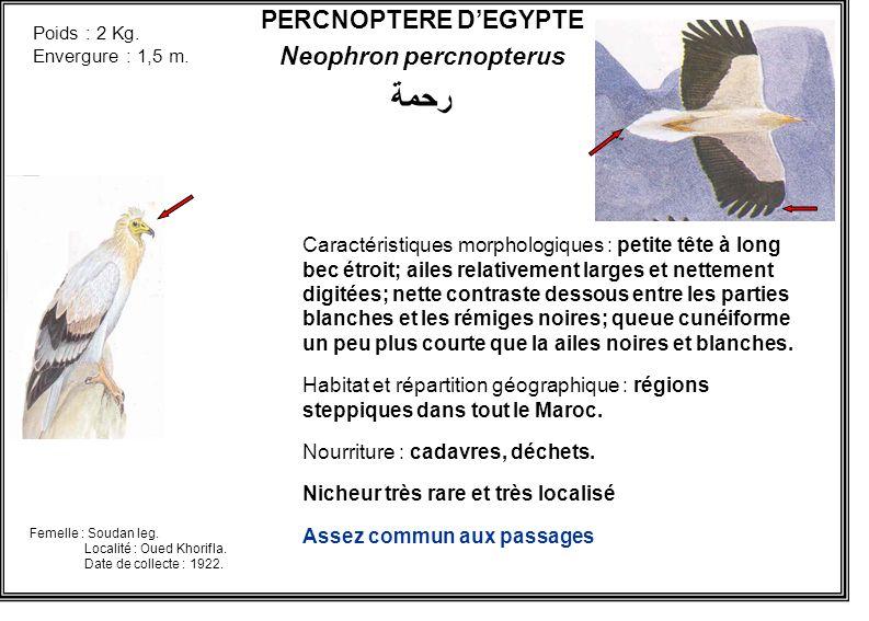 PERCNOPTERE DEGYPTE Neophron percnopterus رحمة Caractéristiques morphologiques : petite tête à long bec étroit; ailes relativement larges et nettement