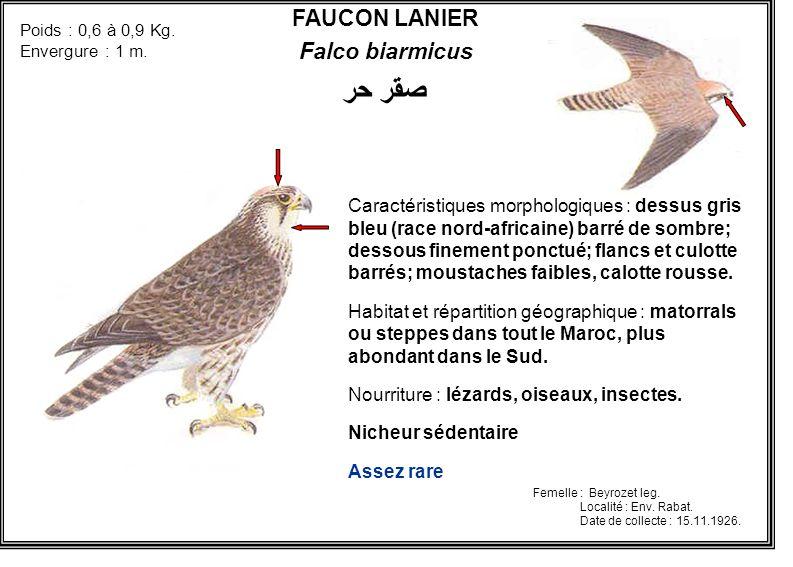 FAUCON LANIER Falco biarmicus صقر حر Caractéristiques morphologiques : dessus gris bleu (race nord-africaine) barré de sombre; dessous finement ponctu