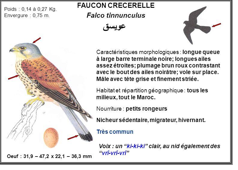FAUCON CRECERELLE Falco tinnunculus Caractéristiques morphologiques : longue queue à large barre terminale noire; longues ailes assez étroites; plumag