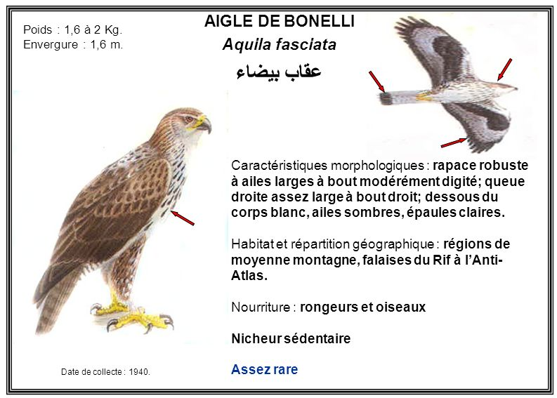 AIGLE DE BONELLI Aquila fasciata Caractéristiques morphologiques : rapace robuste à ailes larges à bout modérément digité; queue droite assez large à