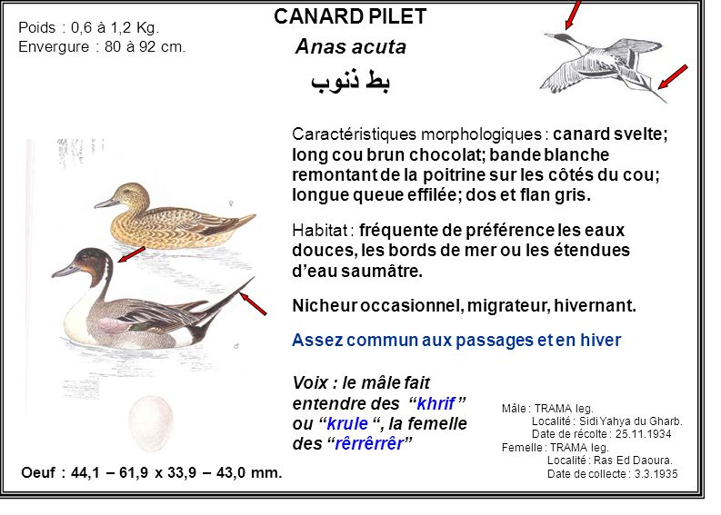 CANARD PILET Anas acuta بط ذنوب Caractéristiques morphologiques : canard svelte; long cou brun chocolat; bande blanche remontant de la poitrine sur le