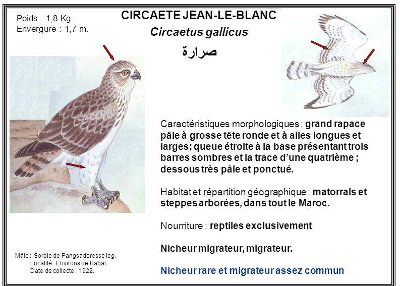 CIRCAETE JEAN-LE-BLANC Circaetus gallicus Caractéristiques morphologiques : grand rapace pâle à grosse tête ronde et à ailes longues et larges; queue
