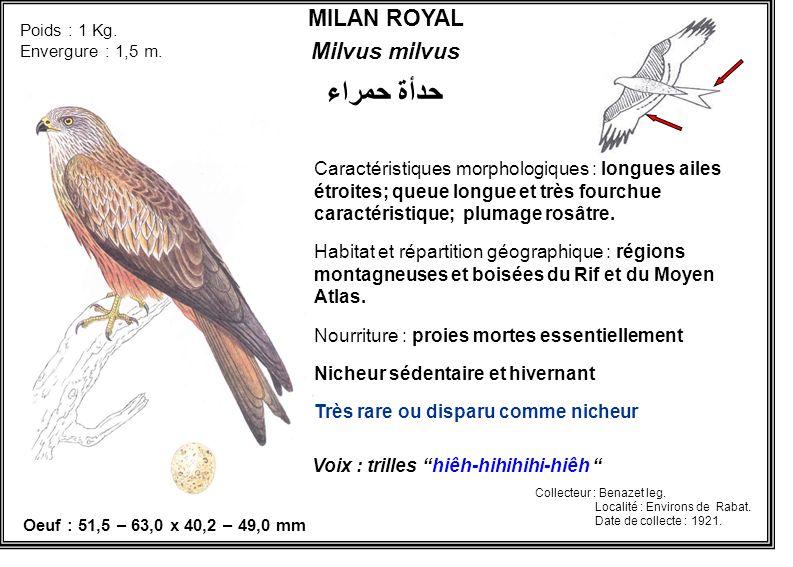 MILAN ROYAL Milvus milvus Caractéristiques morphologiques : longues ailes étroites; queue longue et très fourchue caractéristique; plumage rosâtre. Ha
