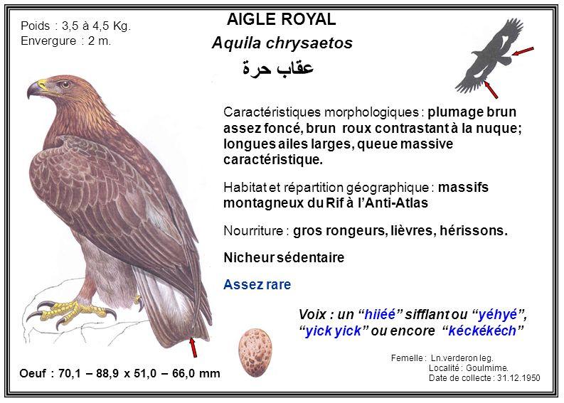 AIGLE ROYAL Aquila chrysaetos Caractéristiques morphologiques : plumage brun assez foncé, brun roux contrastant à la nuque; longues ailes larges, queu