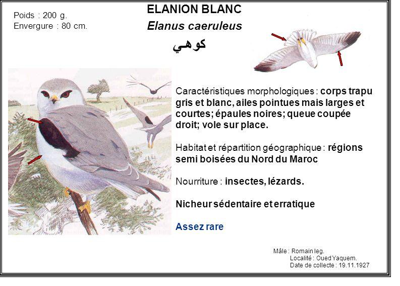 ELANION BLANC Elanus caeruleus Caractéristiques morphologiques : corps trapu gris et blanc, ailes pointues mais larges et courtes; épaules noires; que