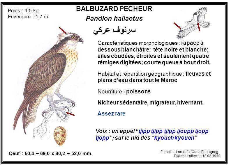 BALBUZARD PECHEUR Pandion haliaetus Caractéristiques morphologiques : rapace à dessous blanchâtre; tête noire et blanche; ailes coudées, étroites et s
