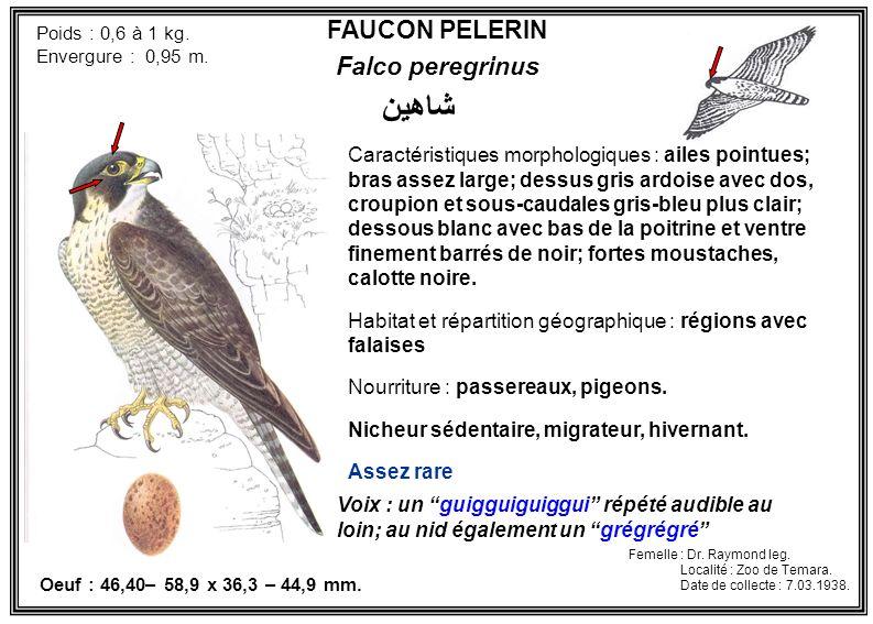 FAUCON PELERIN Falco peregrinus Poids : 0,6 à 1 kg. Envergure : 0,95 m. Voix : un guigguiguiggui répété audible au loin; au nid également un grégrégré