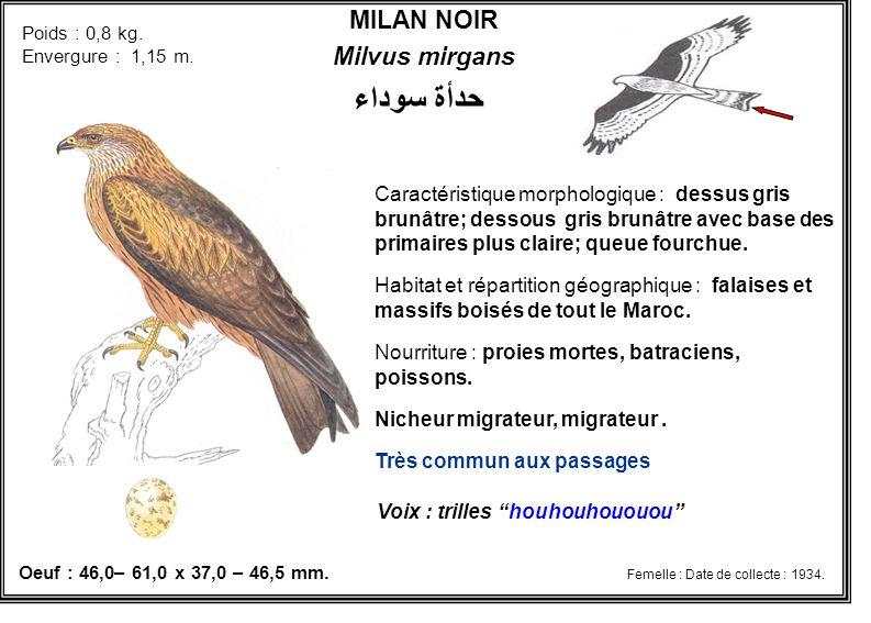 MILAN NOIR Milvus mirgans Caractéristique morphologique : dessus gris brunâtre; dessous gris brunâtre avec base des primaires plus claire; queue fourc