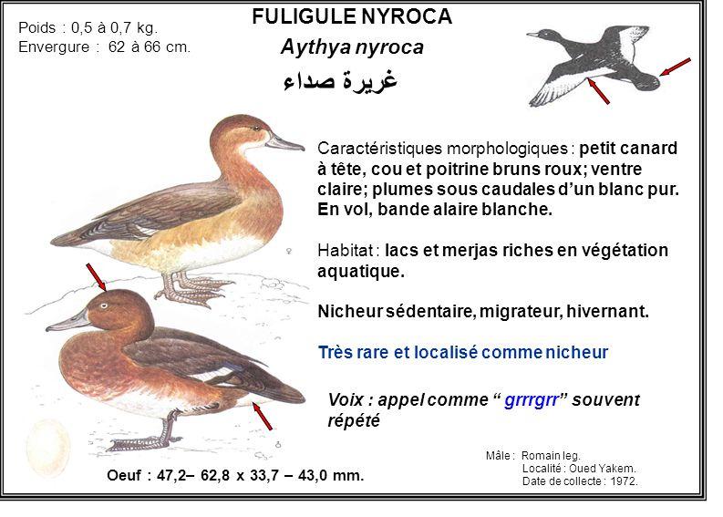 FULIGULE NYROCA Aythya nyroca Poids : 0,5 à 0,7 kg. Envergure : 62 à 66 cm. Voix : appel comme grrrgrr souvent répété Oeuf : 47,2– 62,8 x 33,7 – 43,0