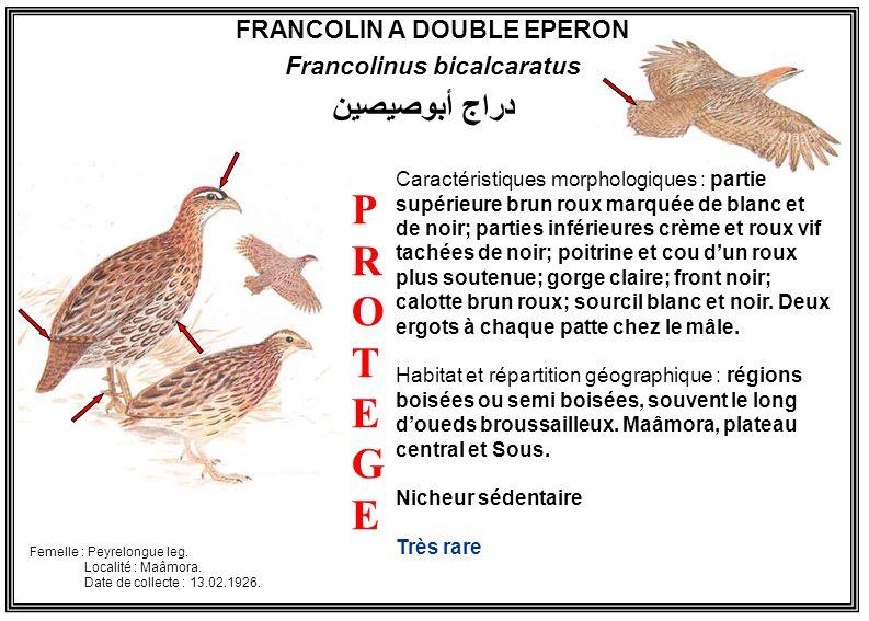 FRANCOLIN A DOUBLE EPERON Francolinus bicalcaratus Caractéristiques morphologiques : partie supérieure brun roux marquée de blanc et de noir; parties