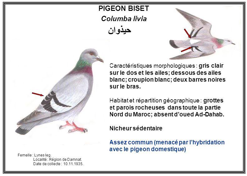 PIGEON BISET Columba livia Caractéristiques morphologiques : gris clair sur le dos et les ailes; dessous des ailes blanc; croupion blanc; deux barres