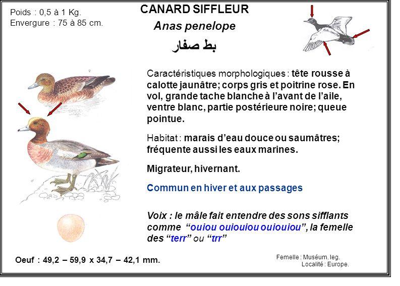 CANARD SIFFLEUR Anas penelope Caractéristiques morphologiques : tête rousse à calotte jaunâtre; corps gris et poitrine rose. En vol, grande tache blan