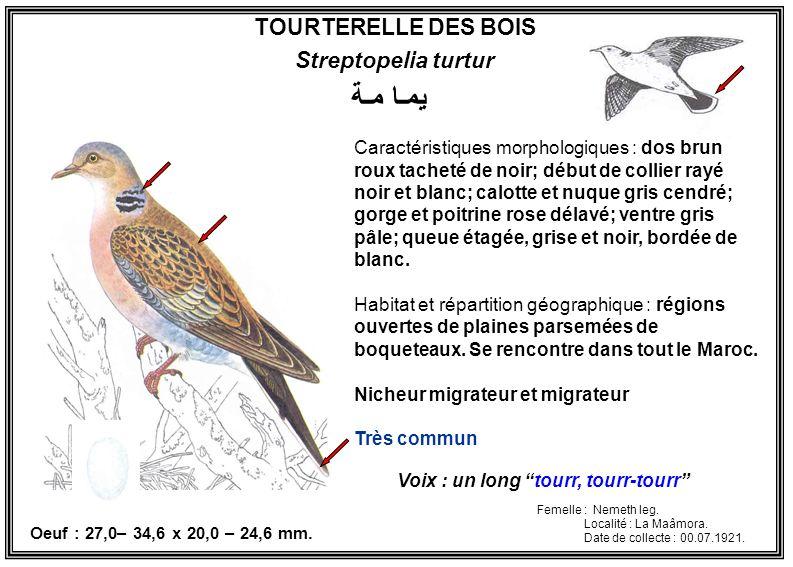 TOURTERELLE DES BOIS Streptopelia turtur Caractéristiques morphologiques : dos brun roux tacheté de noir; début de collier rayé noir et blanc; calotte