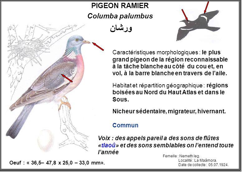 PIGEON RAMIER Columba palumbus Caractéristiques morphologiques : le plus grand pigeon de la région reconnaissable à la tâche blanche au côté du cou et