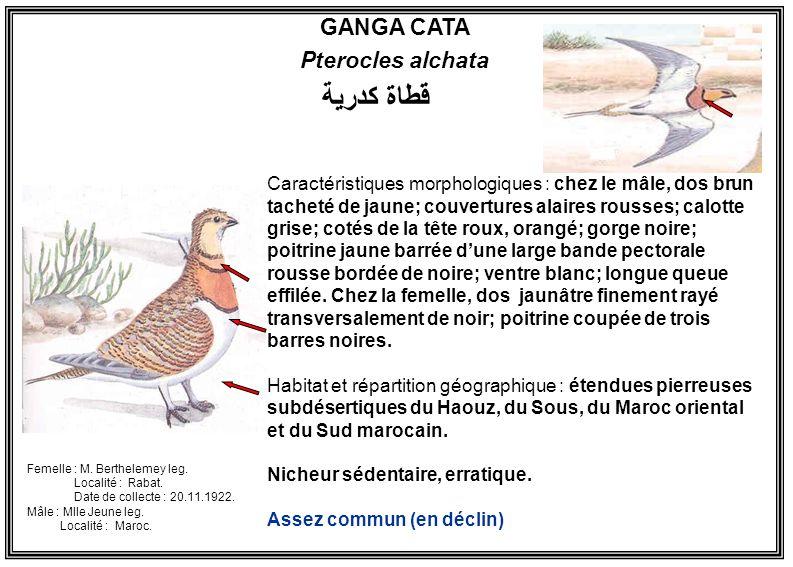 GANGA CATA Pterocles alchata Caractéristiques morphologiques : chez le mâle, dos brun tacheté de jaune; couvertures alaires rousses; calotte grise; co