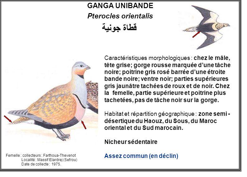 GANGA UNIBANDE Pterocles orientalis Caractéristiques morphologiques : chez le mâle, tête grise; gorge rousse marquée dune tâche noire; poitrine gris r