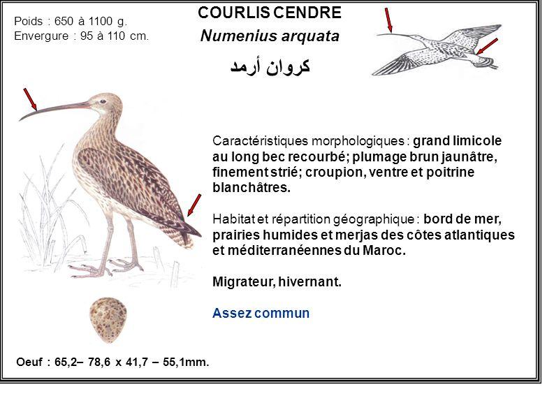COURLIS CENDRE Numenius arquata Caractéristiques morphologiques : grand limicole au long bec recourbé; plumage brun jaunâtre, finement strié; croupion