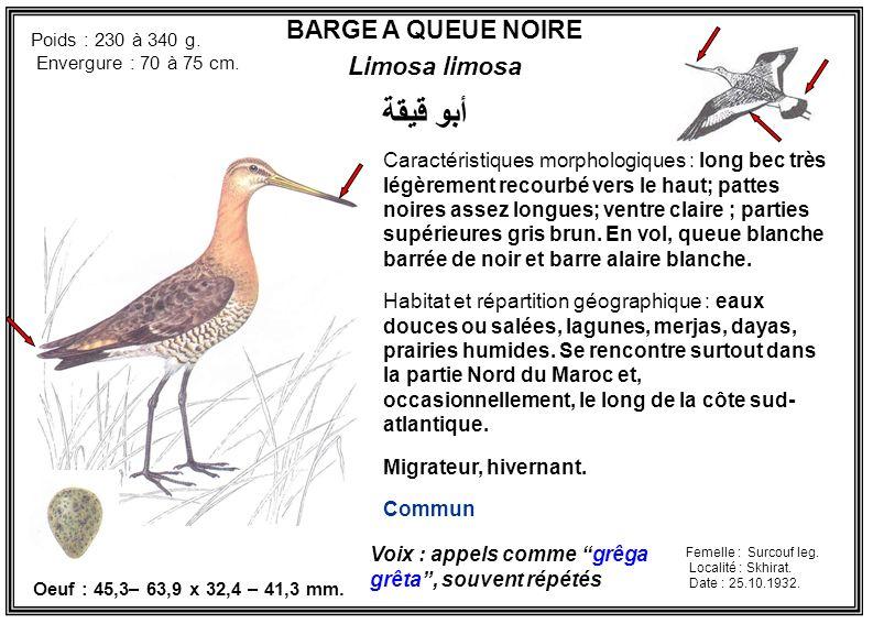 BARGE A QUEUE NOIRE Limosa limosa Caractéristiques morphologiques : long bec très légèrement recourbé vers le haut; pattes noires assez longues; ventr
