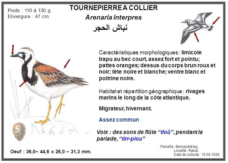 TOURNEPIERRE A COLLIER Arenaria interpres Caractéristiques morphologiques : limicole trapu au bec court, assez fort et pointu; pattes oranges; dessus