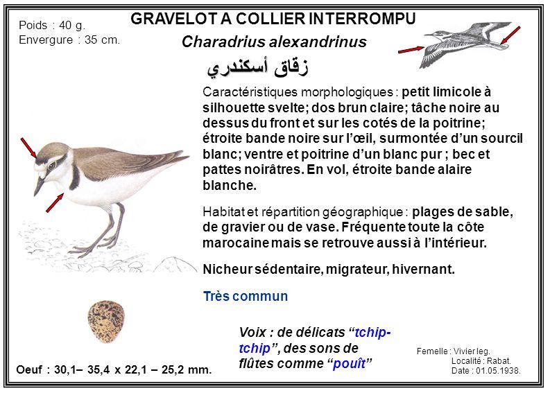 GRAVELOT A COLLIER INTERROMPU Charadrius alexandrinus Caractéristiques morphologiques : petit limicole à silhouette svelte; dos brun claire; tâche noi