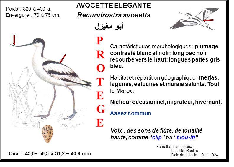 AVOCETTE ELEGANTE Recurvirostra avosetta Caractéristiques morphologiques : plumage contrasté blanc et noir; long bec noir recourbé vers le haut; longu