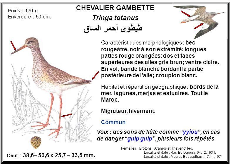 CHEVALIER GAMBETTE Tringa totanus Caractéristiques morphologiques : bec rougeâtre, noir à son extrémité; longues pattes rouge orangées; dos et faces s