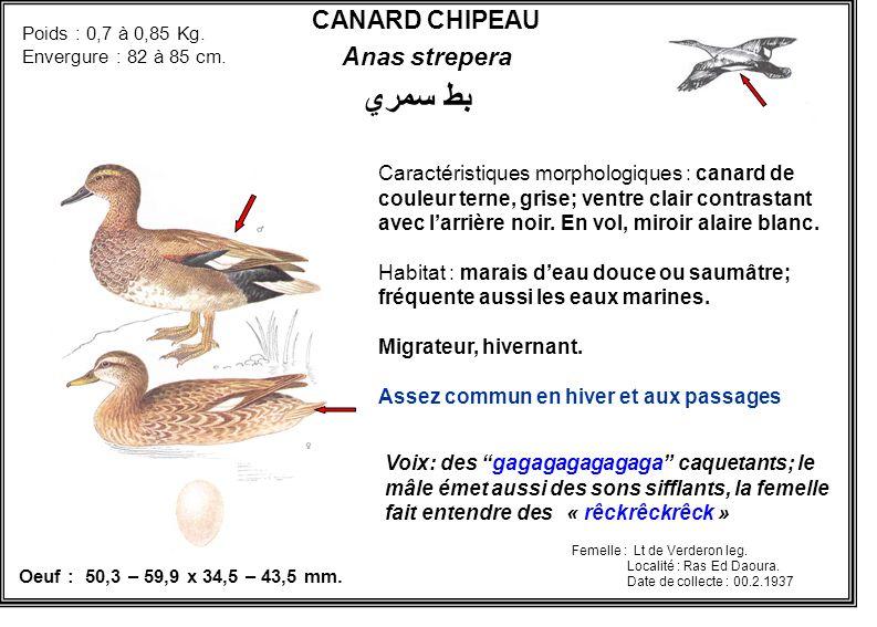 CANARD CHIPEAU Anas strepera Caractéristiques morphologiques : canard de couleur terne, grise; ventre clair contrastant avec larrière noir. En vol, mi