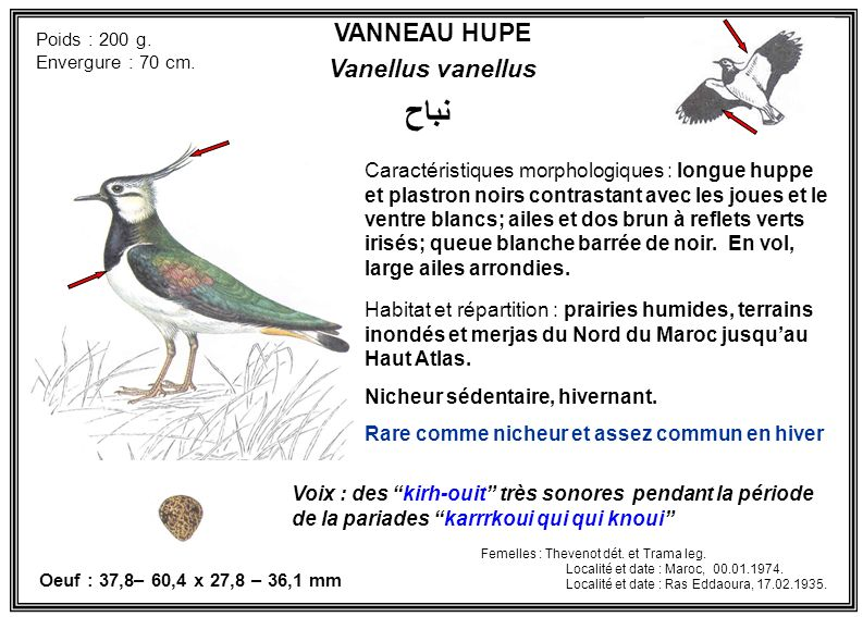 VANNEAU HUPE Vanellus vanellus Caractéristiques morphologiques : longue huppe et plastron noirs contrastant avec les joues et le ventre blancs; ailes