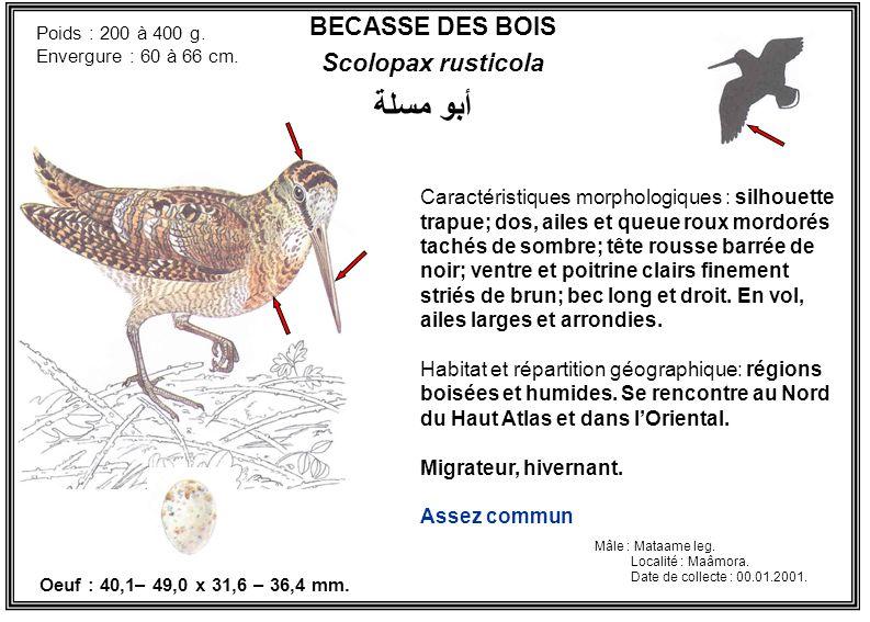 BECASSE DES BOIS Scolopax rusticola Caractéristiques morphologiques : silhouette trapue; dos, ailes et queue roux mordorés tachés de sombre; tête rous