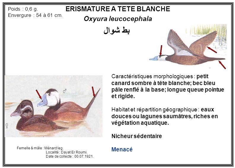 ERISMATURE A TETE BLANCHE Oxyura leucocephala Caractéristiques morphologiques : petit canard sombre à tête blanche; bec bleu pâle renflé à la base; lo