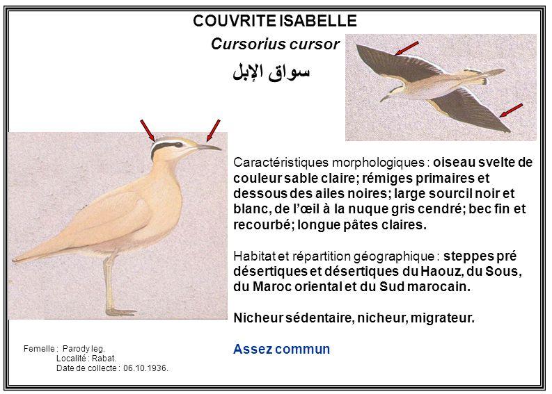 COUVRITE ISABELLE Cursorius cursor Caractéristiques morphologiques : oiseau svelte de couleur sable claire; rémiges primaires et dessous des ailes noi