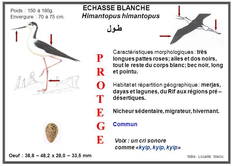ECHASSE BLANCHE Himantopus himantopus Caractéristiques morphologiques : très longues pattes roses; ailes et dos noirs, tout le reste du corps blanc; b