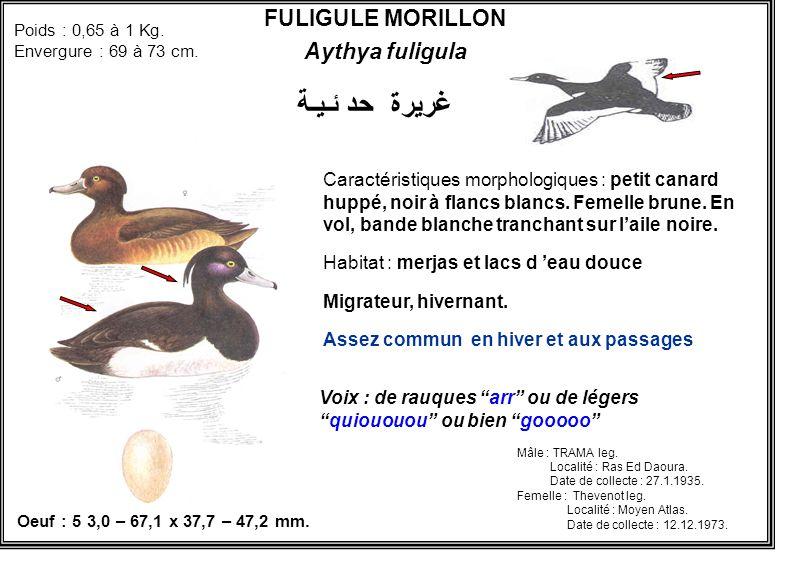 FULIGULE MORILLON Aythya fuligula Caractéristiques morphologiques : petit canard huppé, noir à flancs blancs. Femelle brune. En vol, bande blanche tra