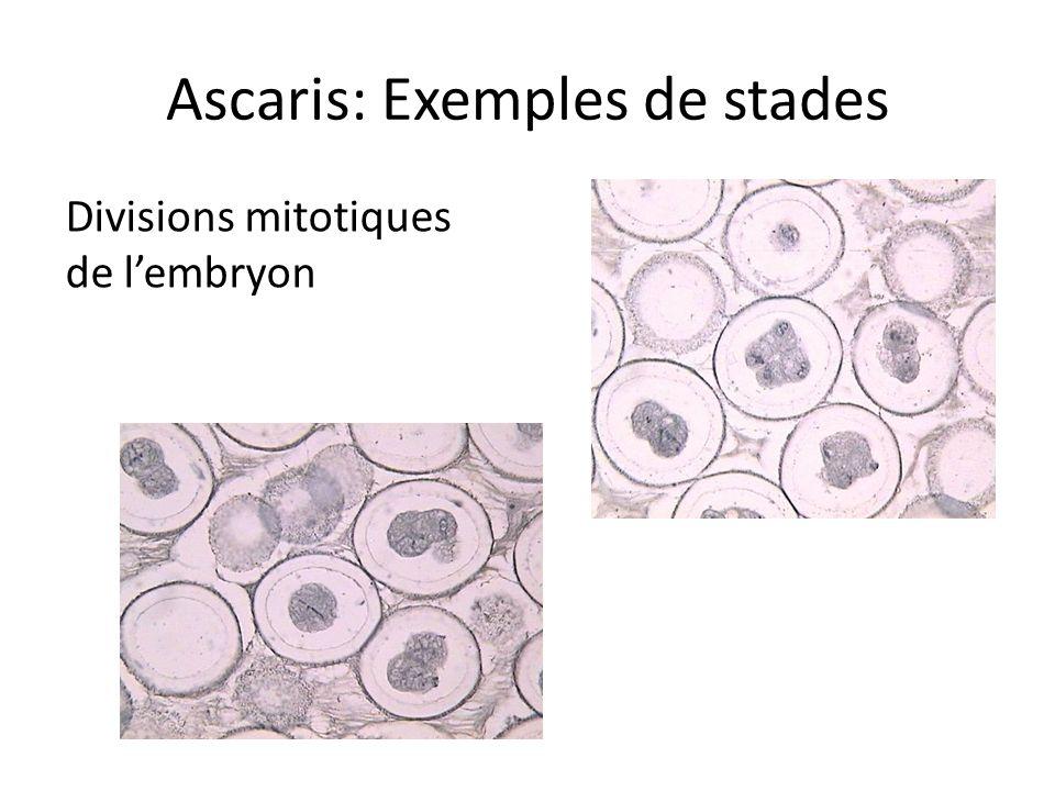 Ascaris: Exemples de stades Divisions mitotiques de lembryon