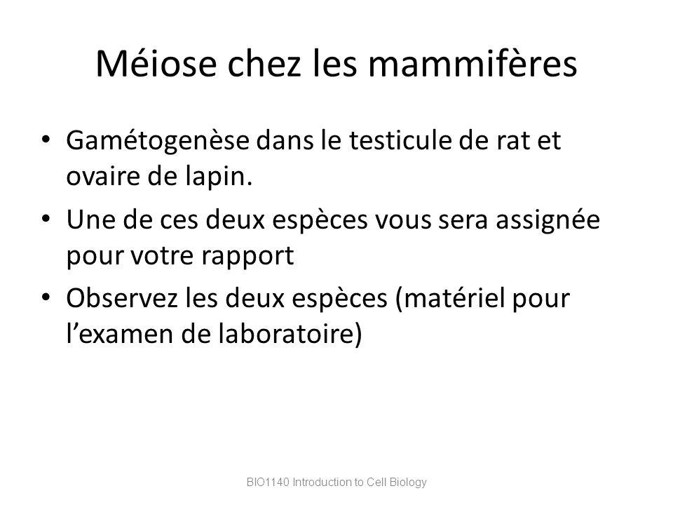 Méiose chez les mammifères Gamétogenèse dans le testicule de rat et ovaire de lapin. Une de ces deux espèces vous sera assignée pour votre rapport Obs