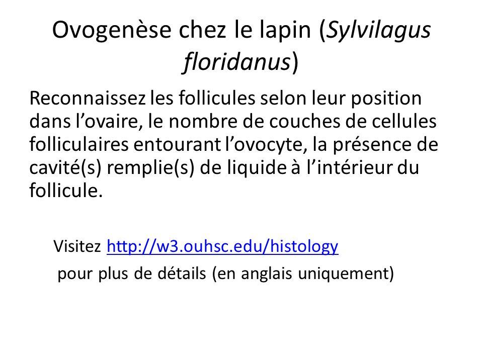 Ovogenèse chez le lapin (Sylvilagus floridanus) Reconnaissez les follicules selon leur position dans lovaire, le nombre de couches de cellules follicu
