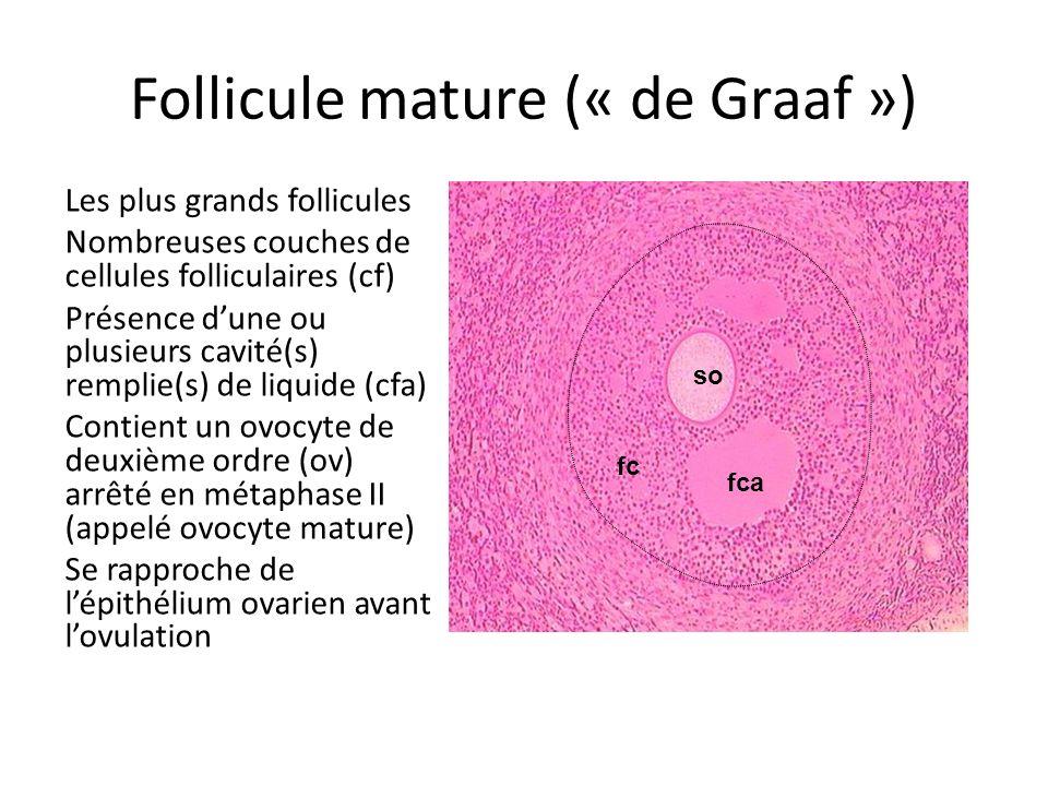 Follicule mature (« de Graaf ») Les plus grands follicules Nombreuses couches de cellules folliculaires (cf) Présence dune ou plusieurs cavité(s) remp