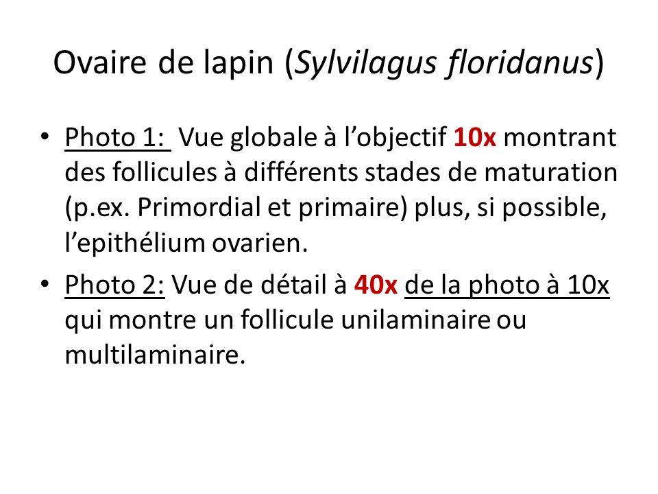 Ovaire de lapin (Sylvilagus floridanus) Photo 1: Vue globale à lobjectif 10x montrant des follicules à différents stades de maturation (p.ex. Primordi