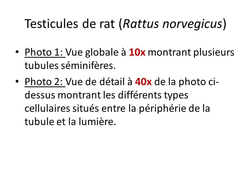 Testicules de rat (Rattus norvegicus) Photo 1: Vue globale à 10x montrant plusieurs tubules séminifères. Photo 2: Vue de détail à 40x de la photo ci-