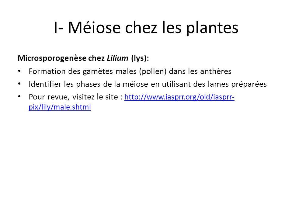 I- Méiose chez les plantes Microsporogenèse chez Lilium (lys): Formation des gamètes males (pollen) dans les anthères Identifier les phases de la méio