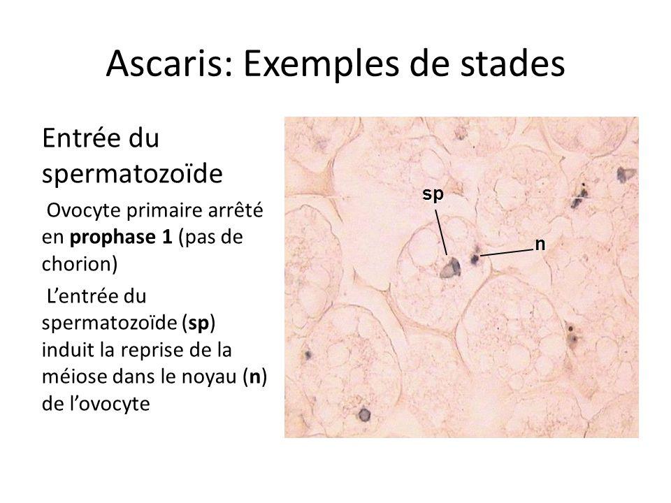 Ascaris: Exemples de stades Entrée du spermatozoïde Ovocyte primaire arrêté en prophase 1 (pas de chorion) Lentrée du spermatozoïde (sp) induit la rep