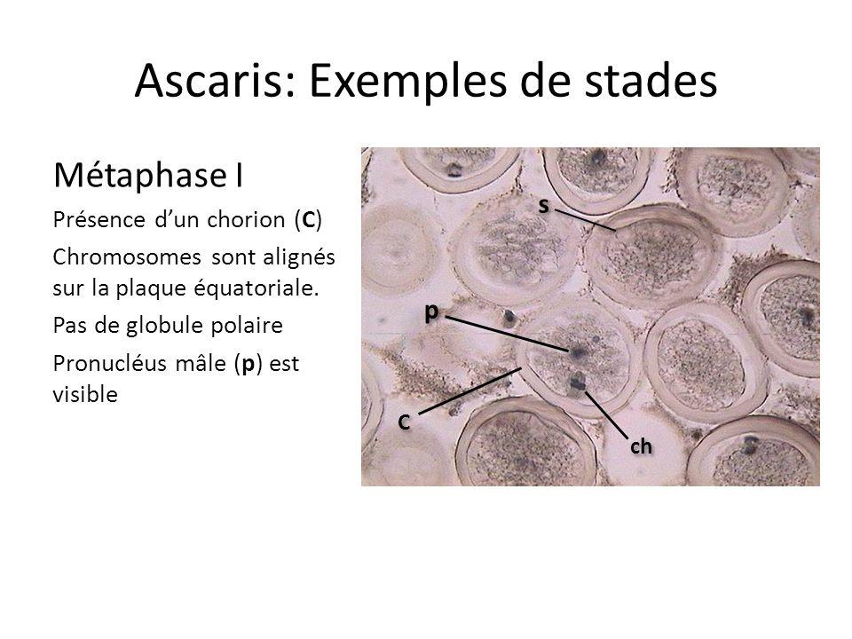 Ascaris: Exemples de stades Métaphase I Présence dun chorion (C) Chromosomes sont alignés sur la plaque équatoriale. Pas de globule polaire Pronucléus