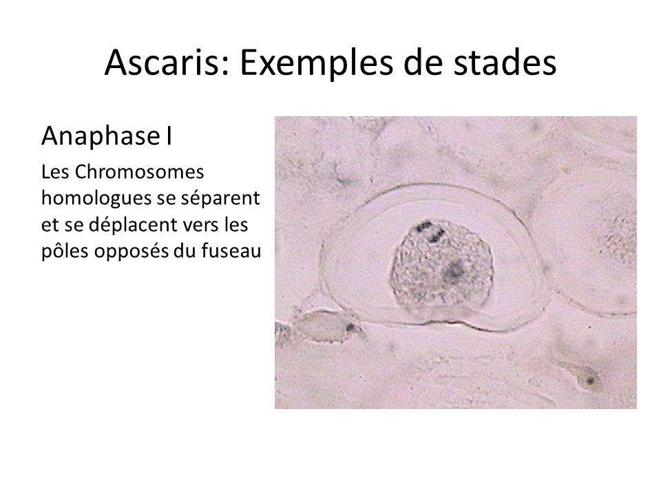Ascaris: Exemples de stades Anaphase I Les Chromosomes homologues se séparent et se déplacent vers les pôles opposés du fuseau