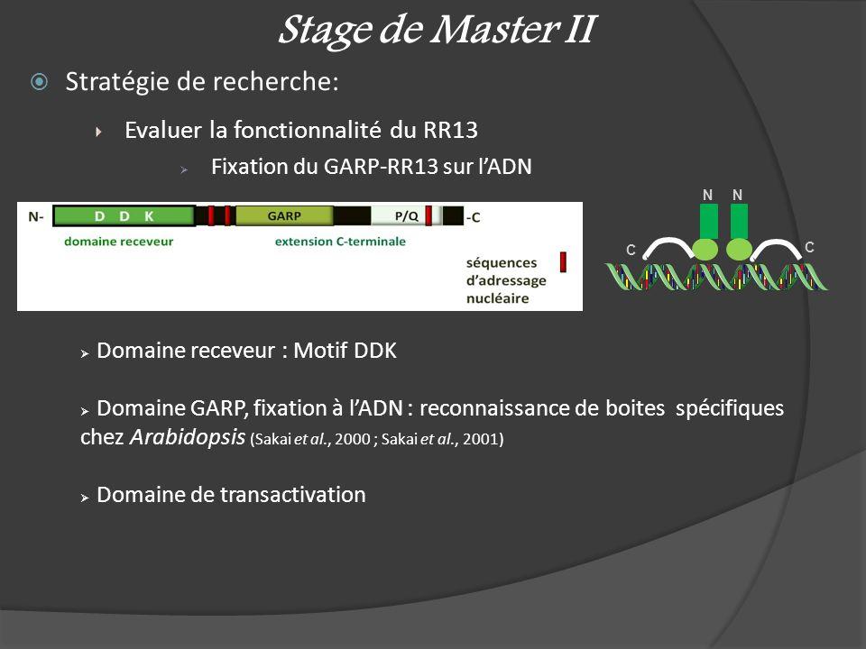 Stage de Master II Stratégie de recherche: Evaluer la fonctionnalité du RR13 Fixation du GARP-RR13 sur lADN C C N N Domaine receveur : Motif DDK Domai