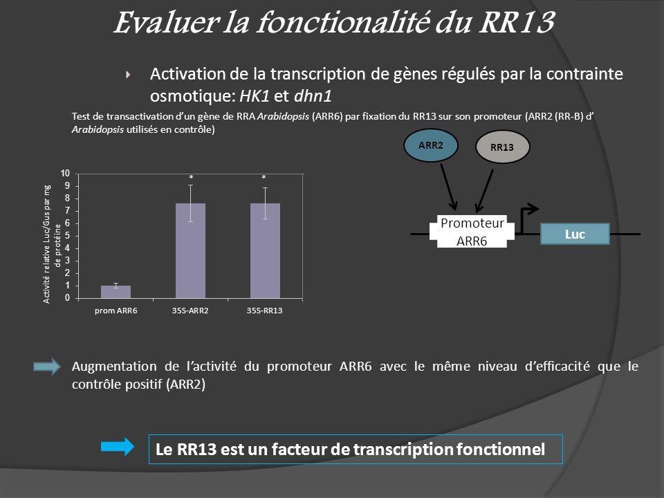 Evaluer la fonctionalité du RR13 Activation de la transcription de gènes régulés par la contrainte osmotique: HK1 et dhn1 Test de transactivation dun