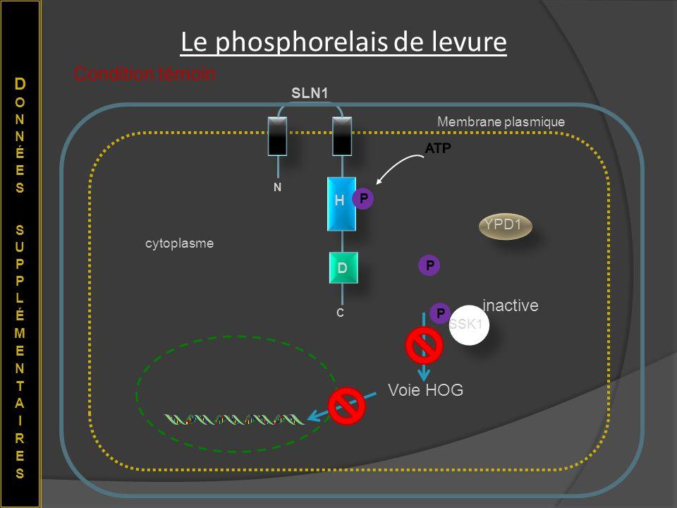 Le phosphorelais de levure cytoplasme Membrane plasmique N C H D SLN1 YPD1 SSK1 P Condition témoin P P Voie HOG inactive