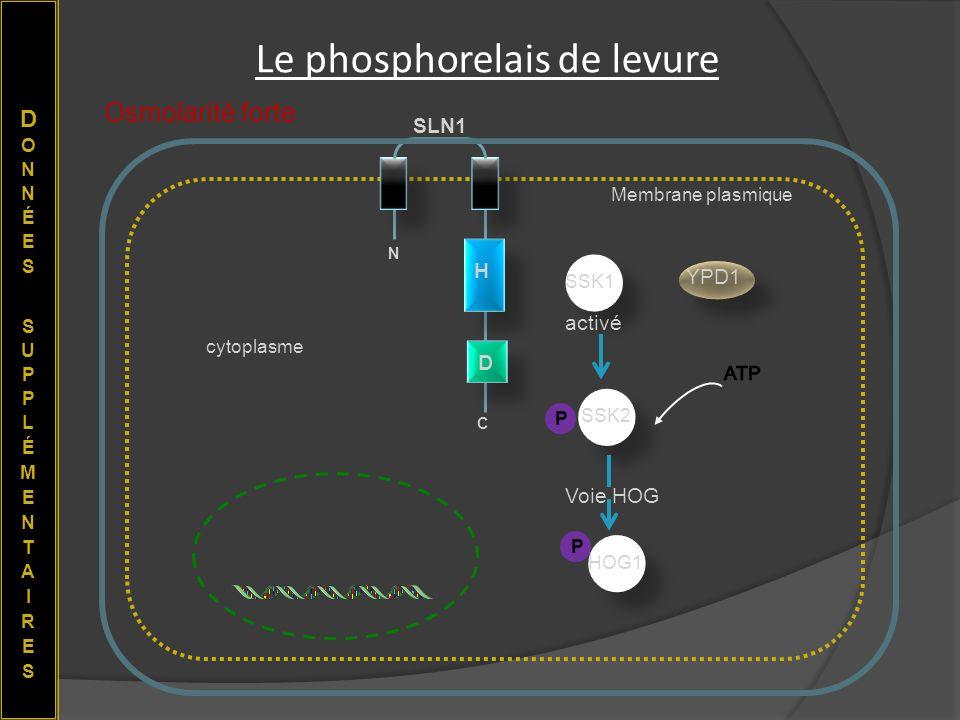 Le phosphorelais de levure cytoplasme Membrane plasmique N C H D SLN1 YPD1 SSK1 Osmolarité forte Voie HOG HOG1 P activé SSK2 P