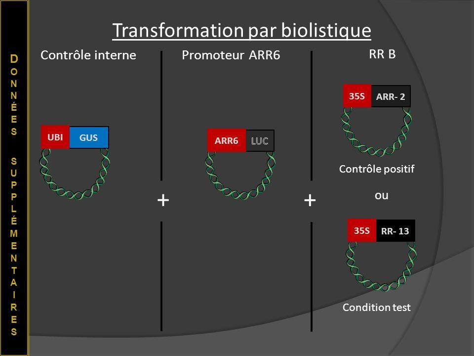 Transformation par biolistique RR- 13 35S ARR- 2 35S GUS UBIARR6 Contrôle internePromoteur ARR6 RR B + + ou Contrôle positif Condition test