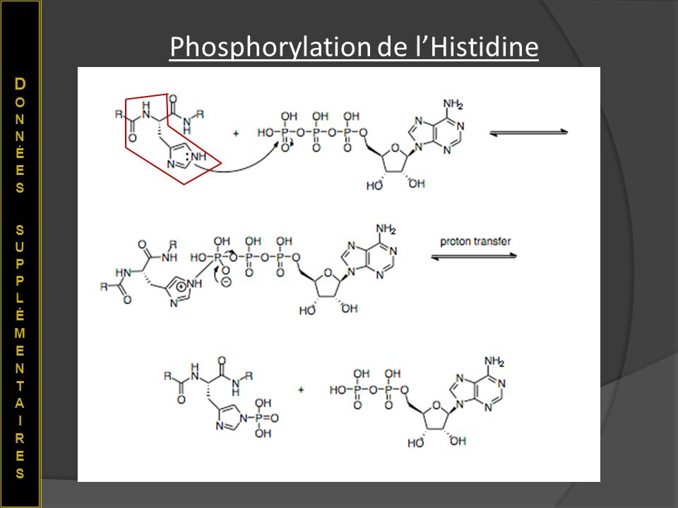 Phosphorylation de lHistidine