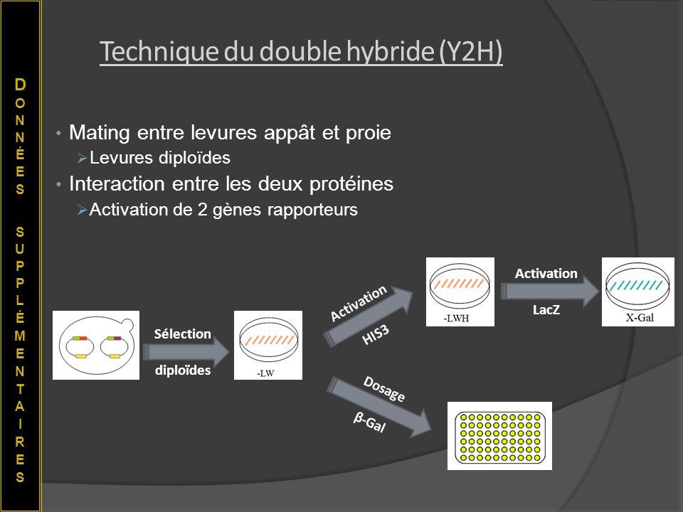 Technique du double hybride (Y2H) Mating entre levures appât et proie Levures diploïdes Interaction entre les deux protéines Activation de 2 gènes rap